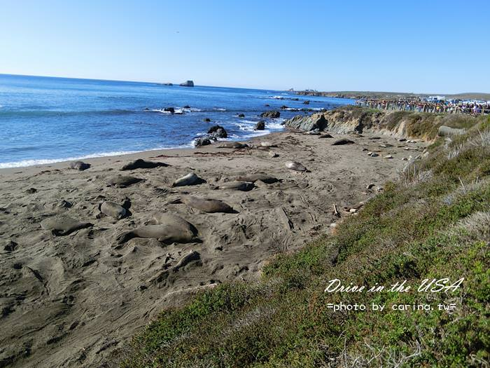 ▌美西自駕 ▌加州一號公路。Piedras Blancas海象灘。超多躺在沙灘上做日光浴懶洋洋的海獅群