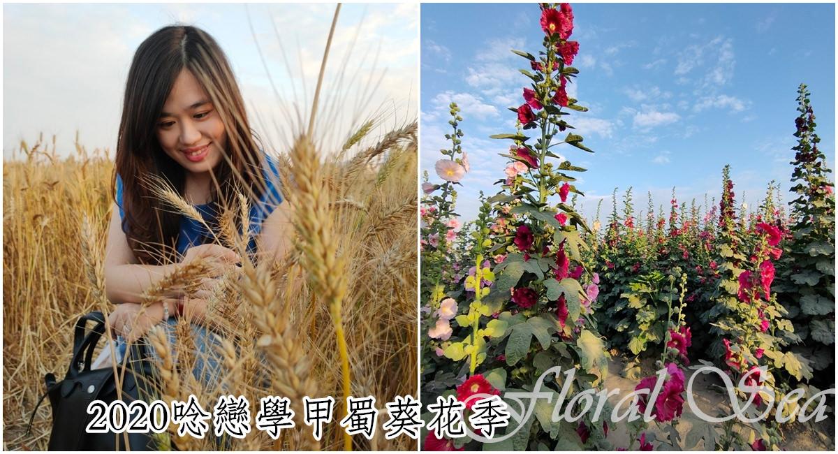 台南學甲景點|2020年學甲蜀葵花季開跑囉。穿梭紅藜花、蜀葵花海和小麥田裡